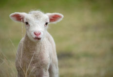 Young baby lamb Royalty Free Stock Photography