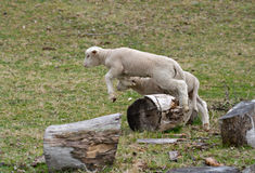 Young baby lamb jumping. Count these very cute and adorable few day old lambs jumping over a log stock photos