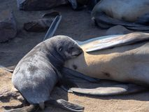 A young baby milk from Brown fur seal, Arctocephalus pusillus, Cape cross, Namibia. Young baby milk from Brown fur seal, Arctocephalus pusillus, Cape cross stock images
