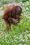 Young baby orangutan. Playing in the grass royalty free stock photos