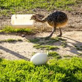 Young baby ostrich on the farm stock photo
