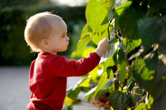 Young baby in a park. Touching leaves in a park Stock Photography