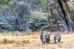 White Rhino Calf and Parent in Lake Nakuru stock photo
