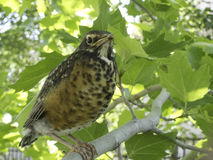Young or baby robin in tree. Looking at camera Stock Photo
