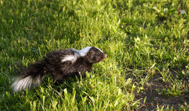 Young baby skunk Royalty Free Stock Photography