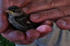Young, baby sparrow (Passer Domesticus) held in older men hands. Young, baby sparrow (Passer Domesticus) fallen from nest held in older men hands Stock Photo