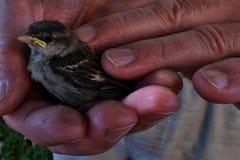 Young, baby sparrow (Passer Domesticus) held in older men hands Stock Photo