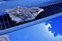 Young, baby sparrow (Passer Domesticus) stuck in blue car air grating. Young, baby sparrow (Passer Domesticus) stuck in blue car front air grating, right under Stock Photos