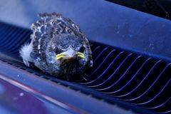 Young, baby sparrow (Passer Domesticus) stuck in car grating. Young, baby sparrow (Passer Domesticus) stuck in blue car front air grating, right under the front Stock Images