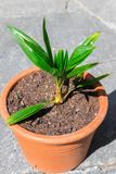 Young baby sprout palm tree leaf coconut stock image
