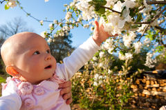 Young baby touching apple blossom Stock Images