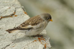 White winged snowfinch in Alps Mountains Royalty Free Stock Photography