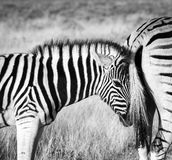 Young baby zebra cuddles with its mother. Young baby zebra searching for comfort and security by snuggling with its mothers tail. Etosha National Park, Namibia Stock Photos