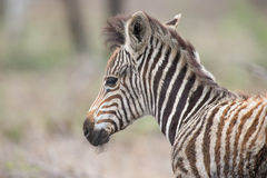 Young baby zebra foal portrait standing alone in nature Stock Image