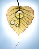 Young back lit peepal leaf with water dew drops Stock Images