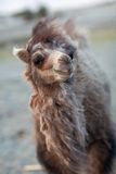 Young Bactrian Camel Royalty Free Stock Photography