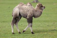 Young Bactrian Camel stock photos
