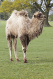 Young Bactrian Camel Stock Images