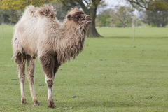 Young Bactrian Camel Royalty Free Stock Images