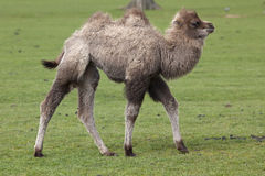Young Bactrian Camel Royalty Free Stock Photo