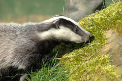 Young badger cub (meles meles) Stock Photos