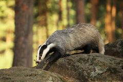 Young badger stay on stone - Meles meles royalty free stock photo