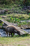 Young Baffalo. Young Buffalo enjoy graze the grass beside the canal with bamboo bridge,can found in Chiangmai, Thailand Stock Image