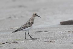 young Bairds Sandpiper standing on the beach a cloudy Royalty Free Stock Photography