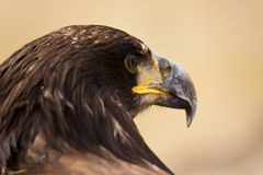 A young bald eagl Royalty Free Stock Image