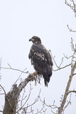 Young bald eagle. Stock Images