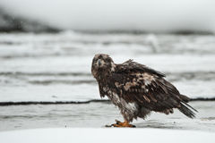 Young Bald eagle Stock Photos