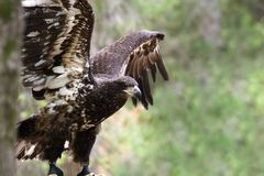 Young Bald Eagle royalty free stock images