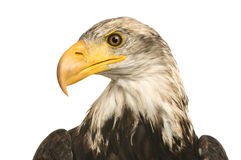 Young Bald Eagle (5 years) - Haliaeetus leucocepha Stock Images