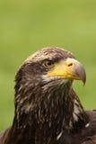 Young bald eagle Stock Image