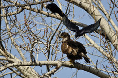 Young Bald Eagle Being Attacked by an American Crow. Young Bald Eagle Being Menaced by an American Crow Stock Image