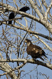 Young Bald Eagle Being Harassed by American Crows. Young Bald Eagle Being Menaced by American Crows Stock Images