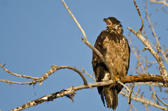 Young Bald Eagle Calling From High in a Barren Tree Stock Photography
