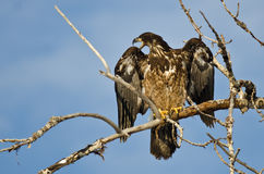 Young Bald Eagle Calling From High in a Barren Tree Royalty Free Stock Photography