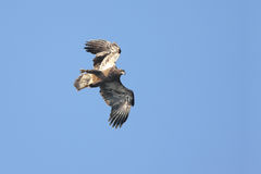Young Bald Eagle In Flight Stock Photo