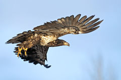 Young Bald Eagle in flight. Stock Image
