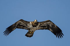 Young Bald Eagle Flying in the Blue Sky Stock Photography