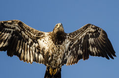 Young Bald Eagle Flying in the Blue Sky Stock Images