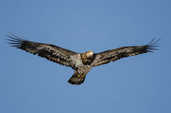 Young Bald Eagle Flying in the Blue Sky Royalty Free Stock Photo