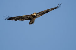 Young Bald Eagle Flying in the Blue Sky Stock Photos
