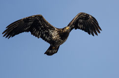 Young Bald Eagle Flying in the Blue Sky Royalty Free Stock Images