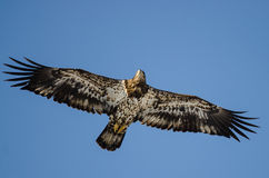 Young Bald Eagle Flying in the Blue Sky Stock Photo
