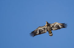 Young Bald Eagle Flying in the Blue Sky Royalty Free Stock Photos