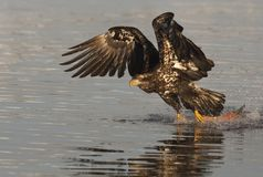 Young Bald Eagle flying for fish Stock Photography
