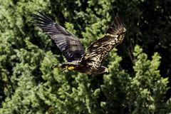 Young bald eagle / Haliaeetus leucocephalus also known as white-headed or white-tailed eagle, sea eagle or American eagle. Warwick, United Kingdom royalty free stock images