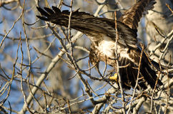 Young Bald Eagle High in a Barren Tree Royalty Free Stock Images